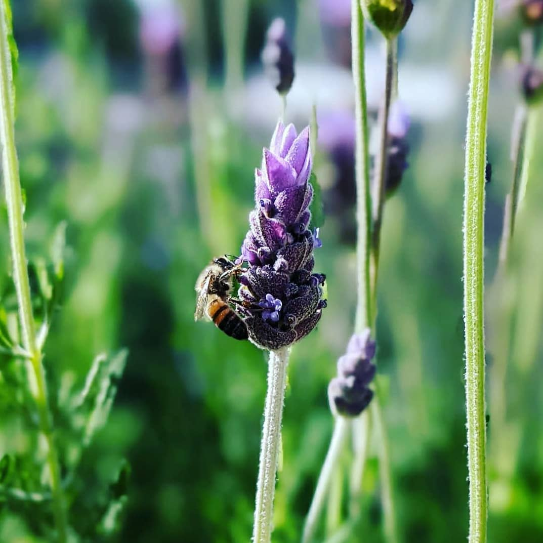 Grand Park lavender and bee